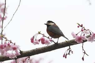 桜と小鳥の素材 [FYI00288768]