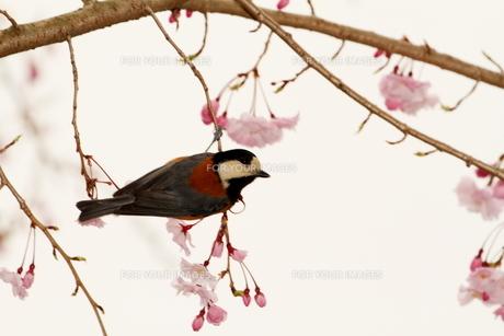 桜と小鳥の素材 [FYI00288775]