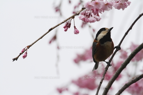桜と小鳥の素材 [FYI00288776]