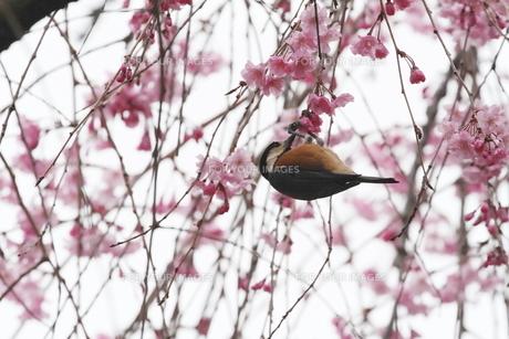 桜と小鳥の素材 [FYI00288777]