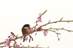 桜と小鳥の素材 [FYI00288781]
