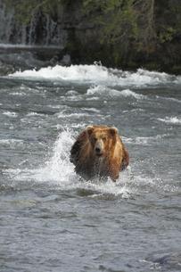 サーモンを追うアラスカヒグマの写真素材 [FYI00288782]