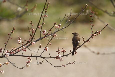 梅と小鳥の素材 [FYI00288785]