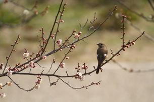 梅と小鳥の写真素材 [FYI00288785]