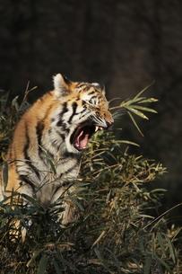 虎のあくびの写真素材 [FYI00288786]