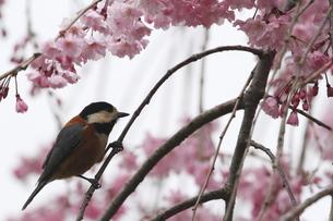 桜と小鳥の素材 [FYI00288791]