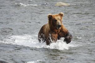 サーモンを追うアラスカヒグマの写真素材 [FYI00288793]