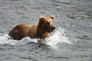 サーモンを狙うアラスカヒグマの素材 [FYI00288799]