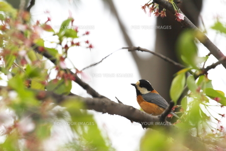 桜と小鳥の素材 [FYI00288807]