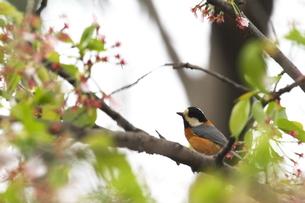 桜と小鳥の写真素材 [FYI00288807]