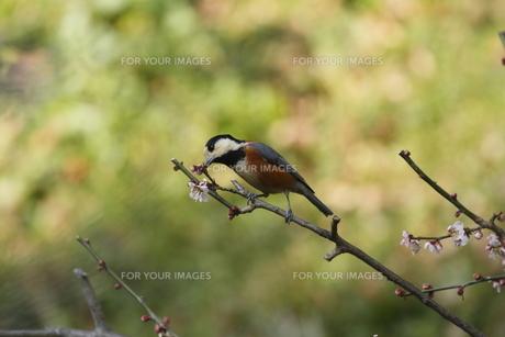 梅と小鳥の素材 [FYI00288815]