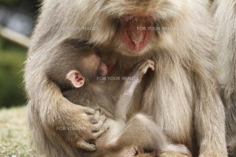 母に抱かれる赤ちゃんの写真素材 [FYI00288823]
