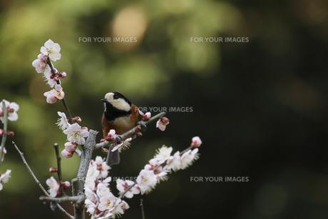 梅と小鳥の素材 [FYI00288824]