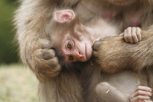 かわいいニホンザルの赤ちゃんの写真素材 [FYI00288835]