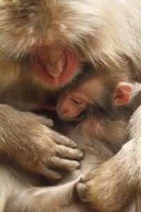 かわいいニホンザルの赤ちゃんの素材 [FYI00288843]