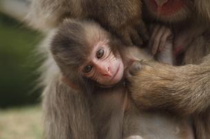 かわいいニホンザルの赤ちゃんの写真素材 [FYI00288852]