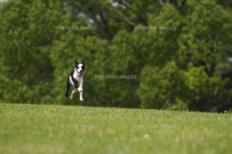 芝生公園を快走する犬の素材 [FYI00288855]