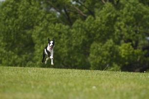 芝生公園を快走する犬の写真素材 [FYI00288855]