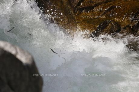 鮎の滝登りの写真素材 [FYI00288860]