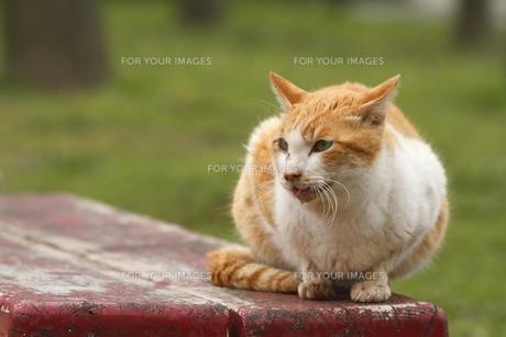 野良猫の素材 [FYI00288929]