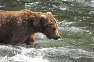アラスカ ハイイログマの素材 [FYI00288930]