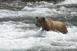 川を渡るヒグマの素材 [FYI00288950]
