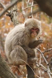 新芽を食べる若猿の写真素材 [FYI00288973]