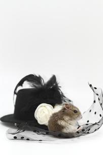 帽子に座るハムスターの写真素材 [FYI00288985]