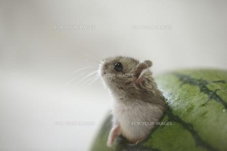 スイカハウスから顔を出すハムスターの写真素材 [FYI00289039]
