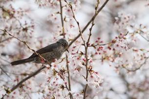 桜と小鳥の素材 [FYI00289106]