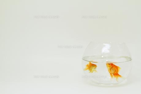 金魚の写真素材 [FYI00289288]