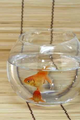 金魚の写真素材 [FYI00289298]