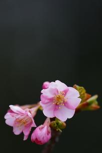 河津桜の写真素材 [FYI00289320]