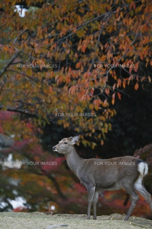 秋色鹿 の素材 [FYI00289340]