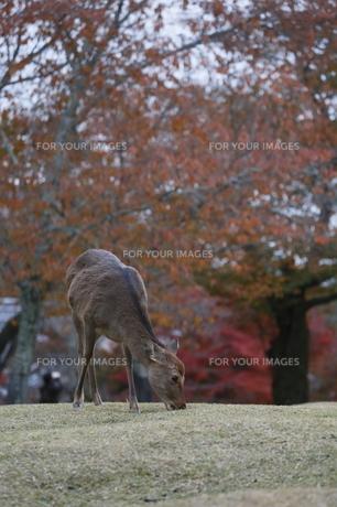 秋色のニホンジカの素材 [FYI00289349]