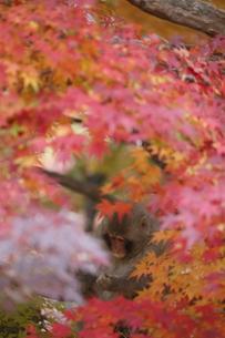 紅葉とおさるさんの写真素材 [FYI00289351]