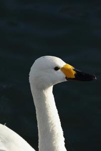 朝日を浴びる白鳥の写真素材 [FYI00289354]