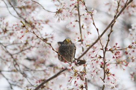桜と小鳥の素材 [FYI00289363]