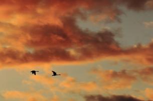 朝焼けを飛ぶ白鳥の素材 [FYI00289364]