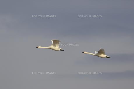 大空を舞う白鳥の素材 [FYI00289380]
