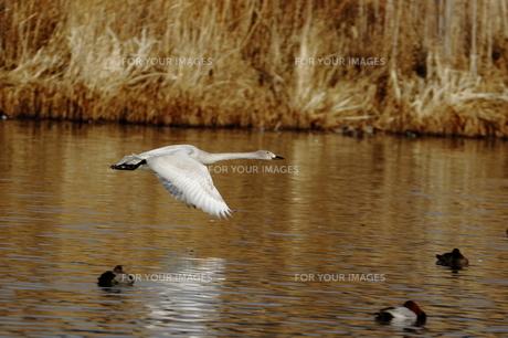 湖上を飛ぶ白鳥の素材 [FYI00289383]