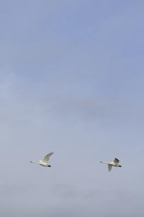 白鳥の舞の素材 [FYI00289392]