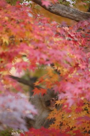 紅葉の中のニホンザルの写真素材 [FYI00289460]