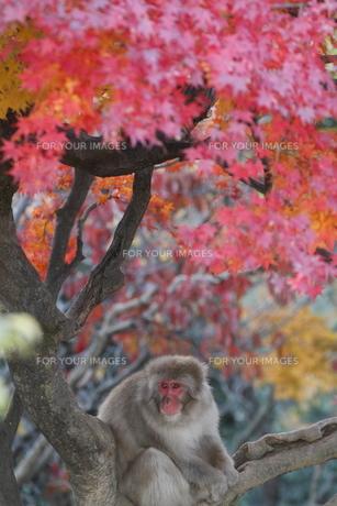 紅葉の中のサルの写真素材 [FYI00289471]