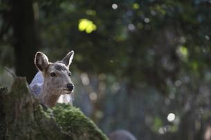 奈良鹿の写真素材 [FYI00289501]