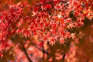 紅葉 神奈川の写真素材 [FYI00289576]