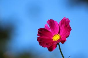 ピンクのコスモスの写真素材 [FYI00289580]