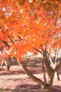 紅葉 神奈川の写真素材 [FYI00289585]