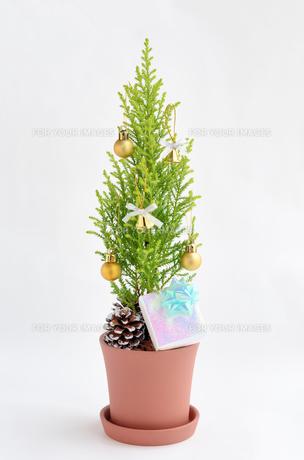 ゴールドクレストのクリスマスツリーの写真素材 [FYI00289695]