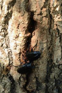 コナラの樹液場のクロカナブンの写真素材 [FYI00289713]